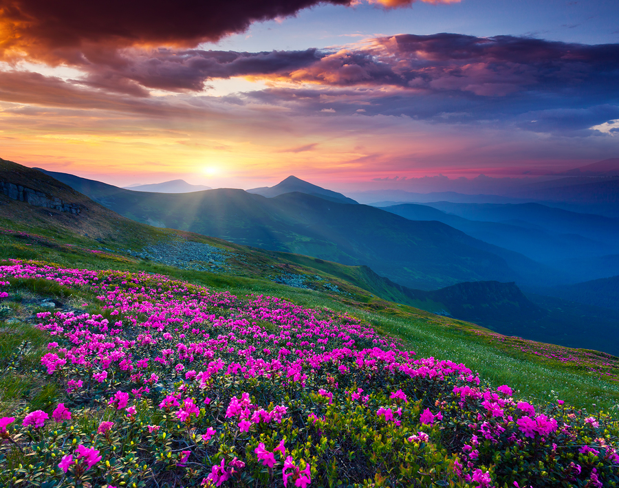 Fields of gorgeous pink rhododendron flowers covering the lush green Carpathian mountains in the Ukraine, and graced by sunlight