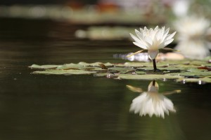 Reflection of a Lotus flower in a pond